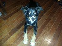Female Border Collie (Riley) needs a new home.