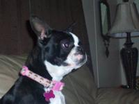 I have a female Boston Terrier. Her name is Macy. She's