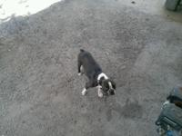 Gorgeous female Boston Terrier. She is good and