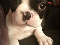 AKC Boston Terrier Puppy - Female She is currently a