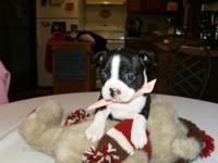 BOSTON TERRIER PUPPY BORN 10/06/14. TAIL HAS BEEN