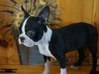 This is a super cute female Boston Terrier puppy! Her