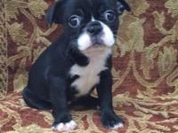 CKC Registered Female Boston Terrier. She is ready for