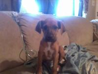 Description Female boxer puppy for sale. Has had all