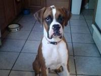 AKC registered flashy fawn boxer puppy. She is 7 months