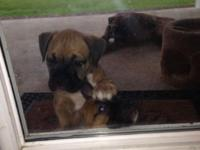 Female boxer puppy. Seven weeks old.  This ad was