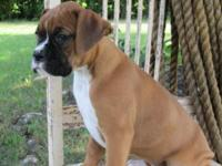 I have a 11 week old Boxer puppy for sale that was born