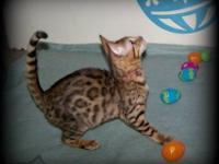 I have a Brown Rosetted Bengal kitten Available. She is