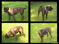 Female bullmastiff, year old, young adult. Up to date