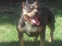 Bully tri female short stocky and thick 1 1/2 yrs old