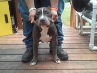 I have a female bully she's 9 months, she's a beast and