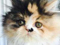 Female calico Persian Ready now for new home. Father is