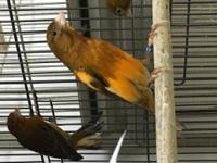 I have female canaries available at very reasonable