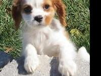 I have an adorable female Cavalier puppy named Leia.