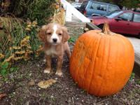 I have two 8 week old female Cavapoo puppies. They're a