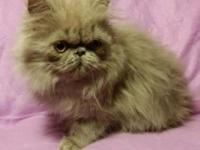 Stunning CFA signed up female lilac Persian kittycat