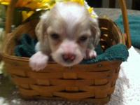 Chi weenie pup $300 Sire is tri color chihuahua