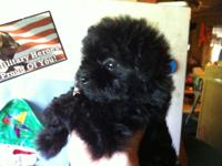 We have one little black female Chihapoo ready for her