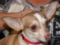 I have a young female Chihuahua just recently bred &