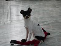 Female Chihuahua born 11/19/12. Extremely friendly and