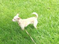 Tessa is a 2 years of age fawn colored Chihuahua, she