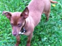 Female chihuahua needs to find new home ASAP due to