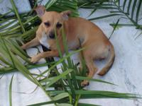 GREAT HAPPY FEMALE CHIHUAHUA MIX 18 MONTHS OLD AL