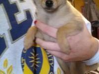 Sable shade girl Chihuahua/Pomeranian mix puppy. She
