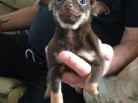 Lovely 8 week old female Full Blooded Chihuahua with