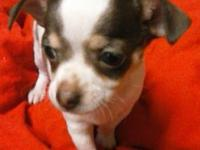 I have a white and brown female Chihuahua puppy looking