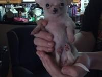 Chihuahua Puppy Female - Born June 12, 2015 current on