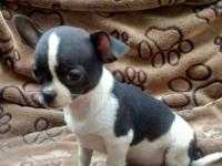 We currently have one female chihuahua puppy available.