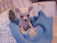 GORGEOUS Chihuahua Female Puppy ! She's adorable,