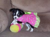 """"" AKC & & ACA Reg. Lady Long Haired Teacup Chihuahua"