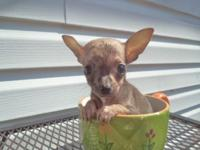 Female chihuahua puppy, 8 weeks old, ckc reg, parents