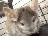 I have a 1 year old Female chinchilla for sale. Im