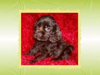 I have a female Chocolate Cocker Spaniel for sale. She