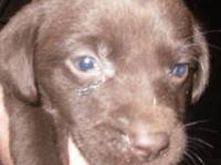I have a chocolate female lab puppy for sale. She is a