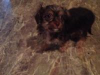 I have a very small (2-3 pound) yorkie/chihuahua mix