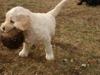CKC signed up F1B Goldendoodles. Sire is my AKC signed