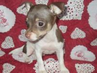 I Have 1 female CKC registered very small Chihuahua