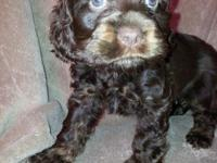 I have 2 chocolate female cocker spaniels ready just in