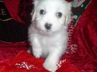 Vixen is a BEAUTIFUL classic white Coton little. girl