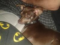 I have 1yr old female deer chihuahua for rehoming fee