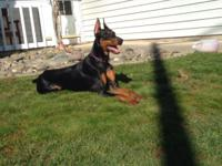 We have a purebred female Doberman who needs a new