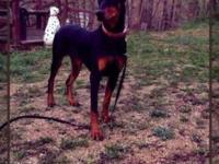 1 yr old female dobie she is very shy at very first has