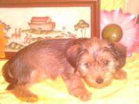 Beautiful female DORKIE. Should not weigh more then 10