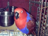 Sweet female eclectus for sale to good home with cage.
