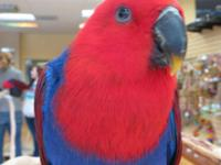 Recently weaned Female Eclectus, located in Sacramento