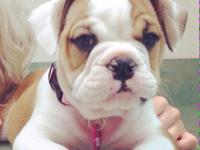 Animal Type: Dogs Breed: Bulldog Hello we have a female